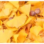 銀杏は美味しい?臭いだけ?氷河期を生き抜いたイチョウで感じる秋の風物詩