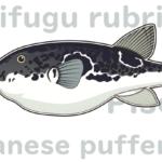 毒は餌が原因?猛毒を持つ美味しい高級魚トラフグ