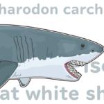 ジョーズのモデル!あのメガロドンを絶滅に追い込んだホオジロザメ(ホホジロザメ)という最強の魚類