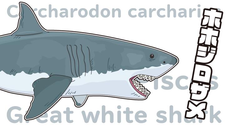 ホオジロザメ(ホホジロザメ)のイラスト