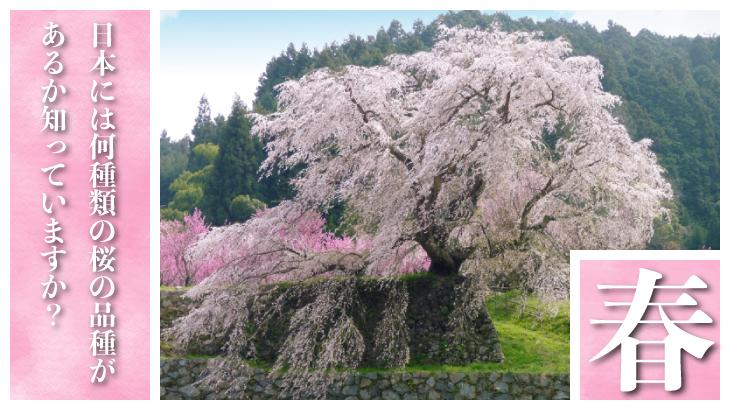 日本には何種類の桜の品種があるか知っていますか?代表的な品種をいくつか紹介致します!