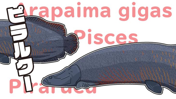 生きた化石!南米アマゾン最大の淡水魚ピラルクー